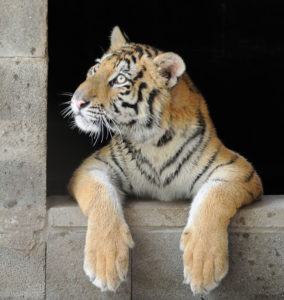 rescue-tiger-recovery-circus-aasha-13