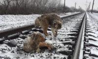 Куче пази раненото си другарче под преминаващи влакове (видео)